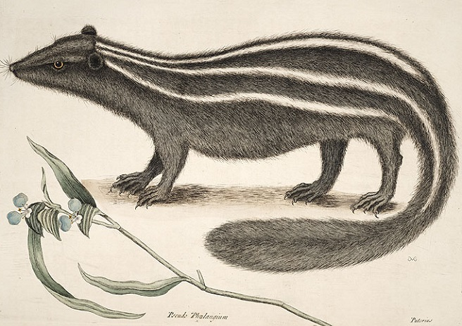 anatomical drawing of a skunk