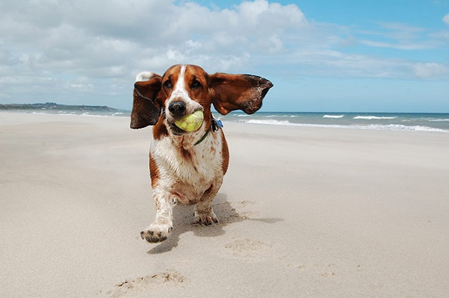 Basset hound running on beach