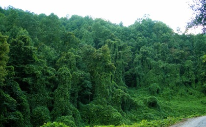 Kudzu, photographer unknown