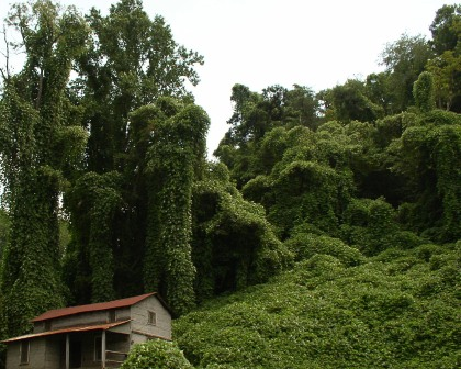 Kudzu image - unknown origin