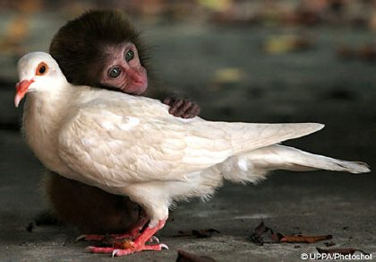 monkey with pigeon