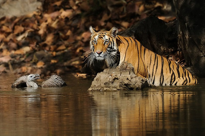 a tiger stands next to a vulture in a little pond